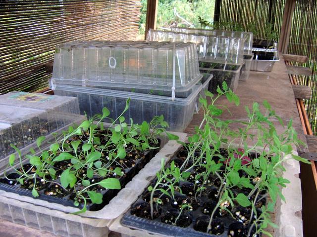מנבטה - מגשי עגבנייה וברוקולי