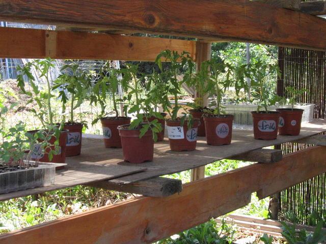שתילי עגבנייה בעציצים מפלסטיק